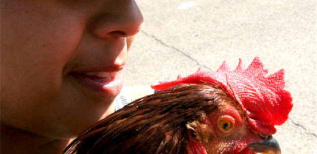Owning chickens scratches up controversy