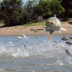 Asian carp, jolted by an electric current from a research boat, jump from the Illinois River near Havana, Ill. The U.S. Army Corps of Engineers is preparing to release a draft report expected out Monday, Aug. 7, 2017, on possible measures at a crucial site in Illinois that could prevent invasive Asian carp from reaching Lake Michigan. AP Photo/John Flesher, File)