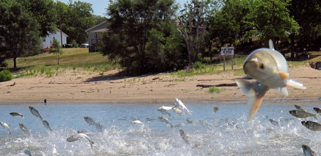 Asian carp, jolted by an electric current from a research boat, jump from the Illinois River near Havana, Ill. The U.S. Army Corps of Engineers is preparing to release a draft report expected out Monday, on possible measures at a crucial site in Illinois that could prevent invasive Asian carp from reaching Lake Michigan.