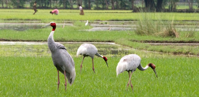 Indian women work in a field as Sarus cranes look for food on the outskirts of Lucknow, India, Monday, July, 17, 2017.