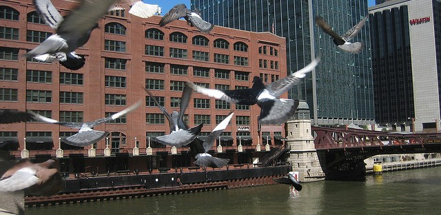Chicago pigeons in front of the Merchandise Mart.