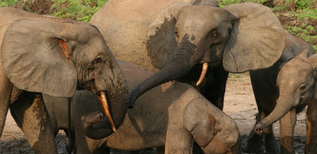 Saving the African Forest Elephant from extinction