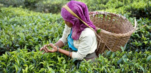 A tea plucker at the Glenburn tea estate in the Himalayas.