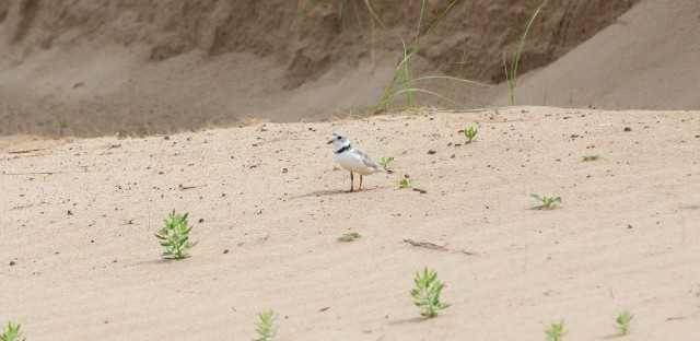 The piping plovers and their new babies walk along a stretch of beach in Chicago on July 19, 2019. The hatchlings have started flying and will soon be ready to migrate south.