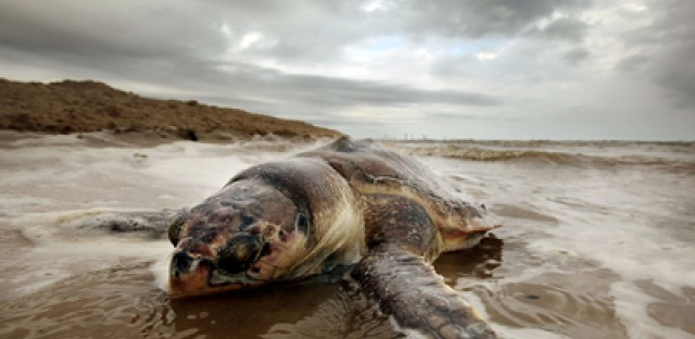 In Mississippi, 67 sea turtle deaths have been reported in the last year. Many blame the BP spill.