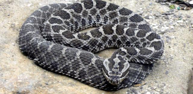 massagua rattlesnake swamp rattler