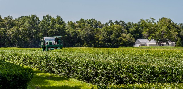 """The """"Green Giant"""" mechanical tea harvester, one of only a few in the world, does the manual work of 500 people."""