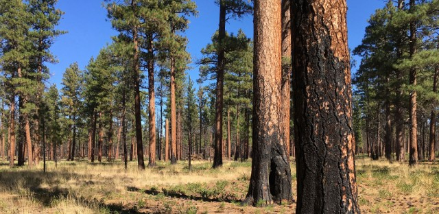 This Sept. 27, 2017, photo shows charred trunks of Ponderosa pines near Sisters, Ore., months after a prescribed burn removed vegetation, smaller trees, and other fuel ladders.