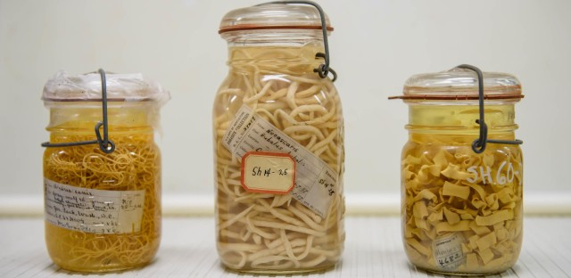 This trio consists of (from left) a dog roundworm collected from a grey wolf in 1906; a roundworm from 1957; and a tapeworm, among the longest worms (they can grow to 40 feet). A person with an intestinal tapeworm can experience a range of abdominal problems.