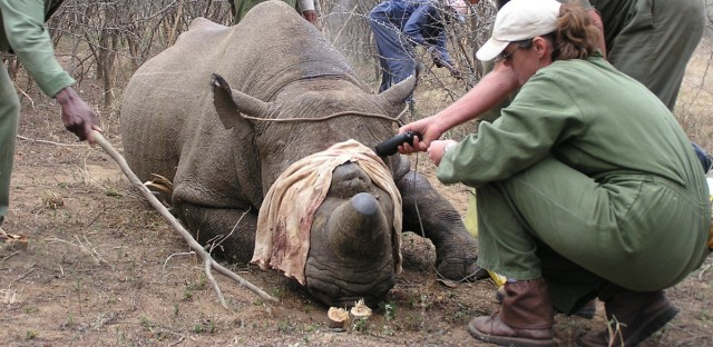 A team from the International al Rhino Foundation tends to a black rhino in Zimbabwe.