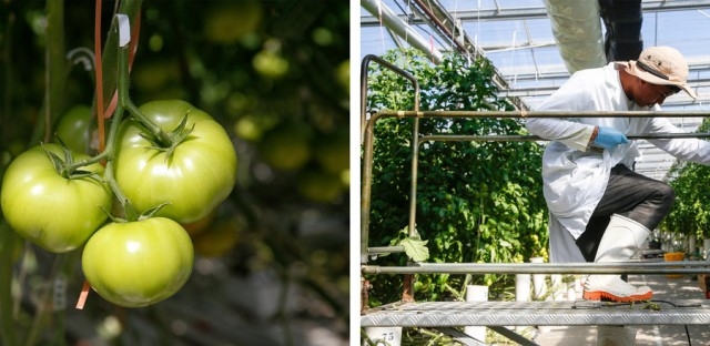 Scenes from inside greenhouse No. 2 at Wholesum Farms Sonora. (Elissa Nadworny/NPR)