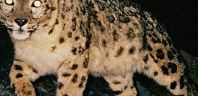 Global Activism: A call to save snow leopards
