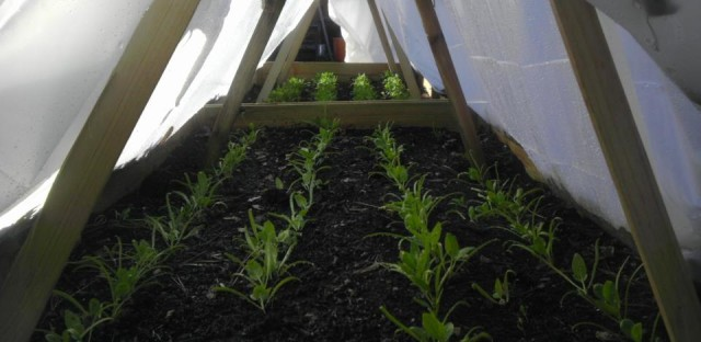 Growing spinach as a winter crop in a hoop house.