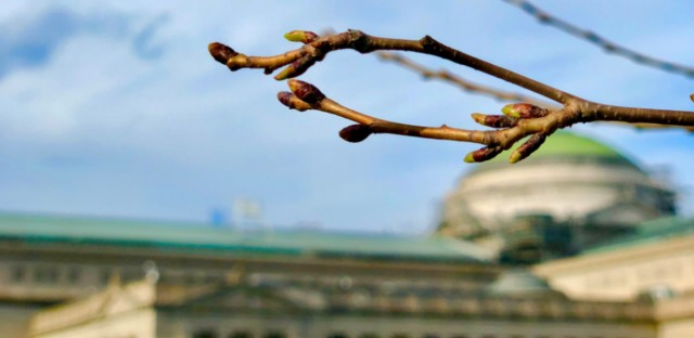 Buds begin to appear on the cherry blossom trees near the Japanese Garden in Jackson Park.