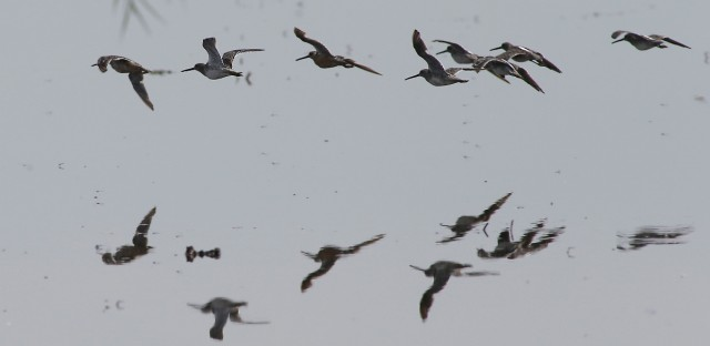 "In this photo taken Tuesday, Sept. 9, 2014, a group of Long-Billed Dowitchers fly low over the water of a rice field near Knights Landing, Calif. Due to the severe drought California's critical wetlands has been cut to as little as one-sixth, threatening the habitat of migrating birds along the Pacific Flyway. The Nature Conservancy has embarked on a program to lease 14,000 acres from rice farmers, to be flooded long enough to create ""pop-up habitats"" that will give migrating birds resting and feeding grounds needed to survive their long flights to and from the north."