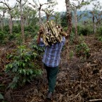 In this May 22, 2014 photo, a man carries wood as he cleans a coffee plantation in Ciudad Vieja, Guatemala.