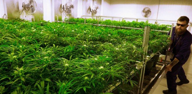 In this Sept. 15, 2015 file photo, marijuana grows at the Ataraxia medical marijuana cultivation center in Albion, Ill.