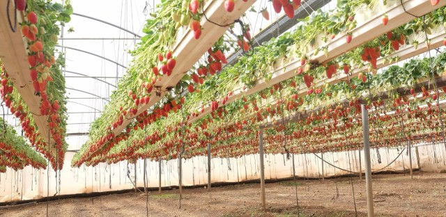 An elevated strawberry farms in the West Bank city of Tulkarum, funded by a USAID program.