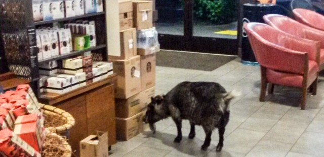 The goat did not order a latte. But when it escaped from home and entered a nearby Starbucks in the Northern California town of Rohnert Park, it did have a hankering for cardboard.