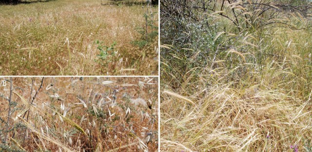 Associations of wild cereals and other wild grasses in northern Israel