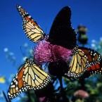 monarch butterfly1